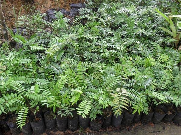eurycomia-longifolia