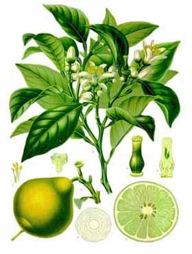 la bergamota fruto