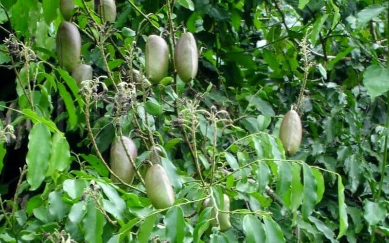 Grifonia Simplicifolia